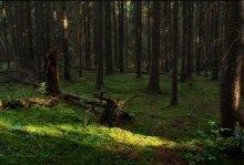 Еловый лес / .....