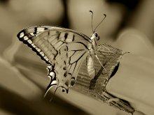 Butterfly*** / Butterfly