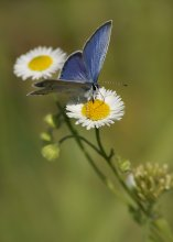 Голубянка короткохвостая / Голубянка короткохвостая