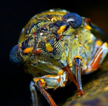 Демон из тьмы / Портрет цикады в Турции