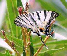 Застывший полет / Снимок сделан в Италии в районе Траземенского озера Это никто иной как Подалирий [lphiclides (Papilio) podalirius], дневная бабочка из семейства парусников.