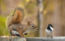 ...are you resident of this province? / American red squirrel & Black-capped Chickadee.