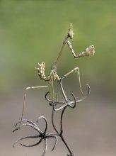 Танцор / Богомол - Mantodea