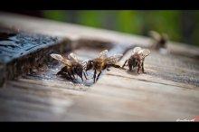 Сплетница / пчелы на водопое