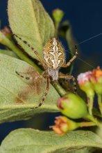 Акулепейра или паук дубовый / Aculepeira ceropegia