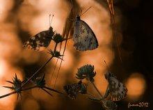 Золотой рассвет / 4 бабочки
