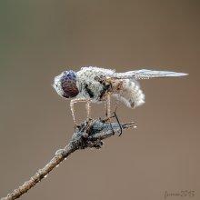 РОСОМУХ / муха в росе