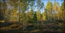 Березовая роща на закате / Осенний, светлый, легкий, воздушный молодой березняк в лучах заходящего солнца...