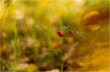 Дыхание осени... / Плоды майского ландыша, в прощальных солнечных лучах октября. Albinar 80-200/3.9 macro