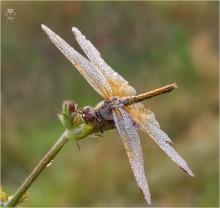 Утро...Стрекоза... / Утренняя стрекоза в росе, на стебле цикория.