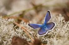Цветочек на мху / Голубянка