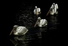 Без названия / пеликаны плывут себе