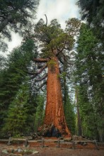 Grizzly Giant tree / Redwood National Park