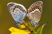 Жизнь продолжается / Бабочки Голубянки