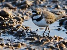 Пташка / Зуёк ранним утром собирает мошек около речки.