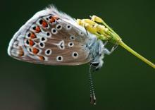 Голубянка... / бабочка...
