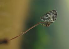 / Буду признателен помощи в определении названия бабочки