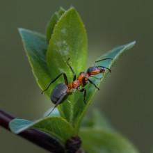 Весенние истории с муравьишкой... / макросъемка муравья