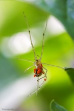 Enoplognatha Ovata / Паук-тенетник Enoplognatha Ovata с клещами на теле