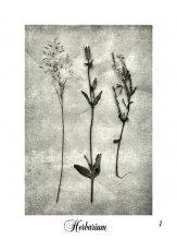 Herbarium / Karl BLOSSFELDT