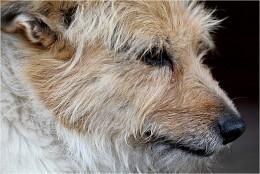Жил-был пёс. / собака, голова, слеза,