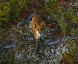Fox / якутские горы, Оймяконский район,