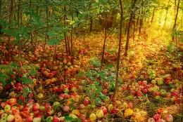 Яблочный ковер / фоторепортаж о заброшенных дачах