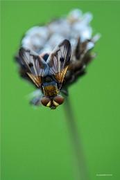 муха / насекомые