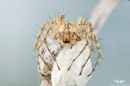 Мать / Самка паука-волка с коконом.