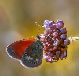 Бабочка сенница обыкновенная - Coenonympha glycerion... / Лето на Вологодчине...
