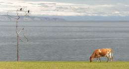 оранжевая корова / ***