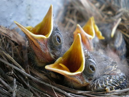 Желторотики / гнездо птенцы