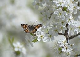 Весна. / Терновник цветёт.