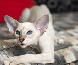 Нифертити / Сиамская кошка, восточная грация!