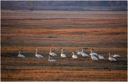 Перелетные птицы / Гуси на отдыхе. Утро 20.10.15