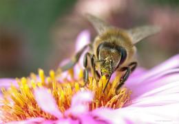 Рабочая лошадка сентября / Бесконечные пчёлы собирают нектар, А бесконечные фотографы Щёлкают затворами над ними.