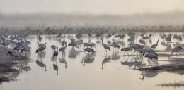 Журавушки на водопое / Израиль. Заповедник Ахула. Туман. Место зимовки журавлей и многих других птиц.