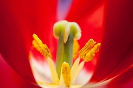 Тюльпановый салют / Аптекарский огород