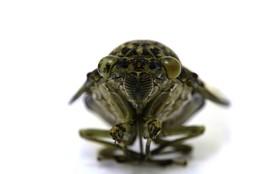 Цикада / У самцов цикад имеется особый голосовой тимбальный аппарат. У самок голосовой аппарат рудиментарный, так что они петь не могут.