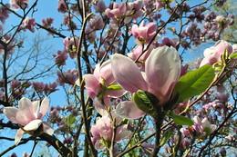 Весна / Магнолія