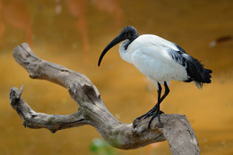 Африканский священный ибис / African Sacred Ibis (Threskiornis aethiopicus) perching on the log