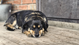 Спящая собака / ***