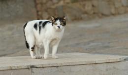 Настороженная кошка / ***