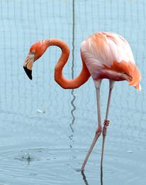 Одинокий фламинго / Московский зоопарк
