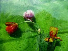 Капли дождя.. / тюльпаны, дождь