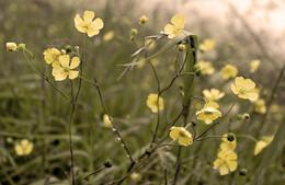 Утро, лютики / Маленькие цветы и большие капли, некоторое сфумато как нельзя лучше, как мне кажется, передают утреннее(просыпающееся) настроение