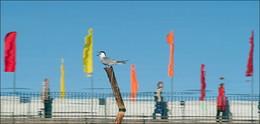 Чайка с флагами в пруду зеленоградском / Чайка с флагами в пруду зеленоградском
