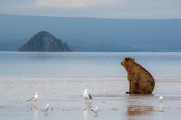 Он все еще грустит / Камчатка. Курильское озеро. В ожидании лосося медведь любуется островом «Сердце Алаида»  Фототур «Земля медведей» http://ratbud.livejournal.com/23309.html