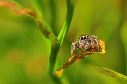 Лесной житель / паук скакунчик