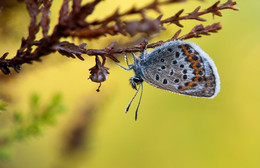 Сон на вереске / бабочка голубянка